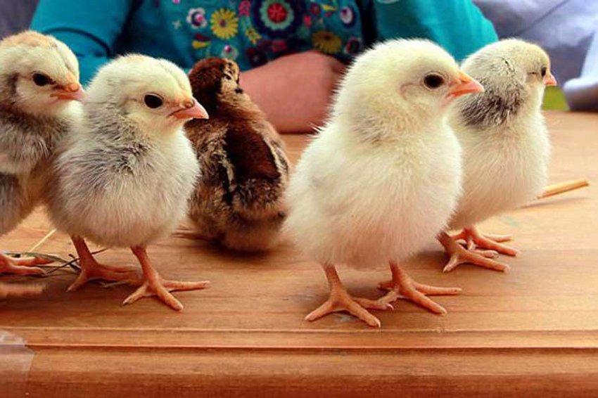 Создатели овечки Долли хотят создать устойчивых к гриппу цыплят