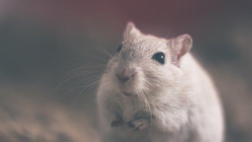 Жители Италии в панике: на севере страны наблюдается нашествие белых крыс