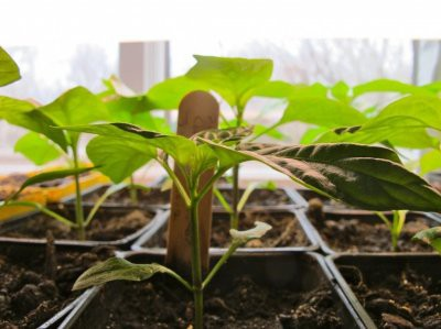 Посевной календарь: когда лучше сажать рассаду перца в 2019 году