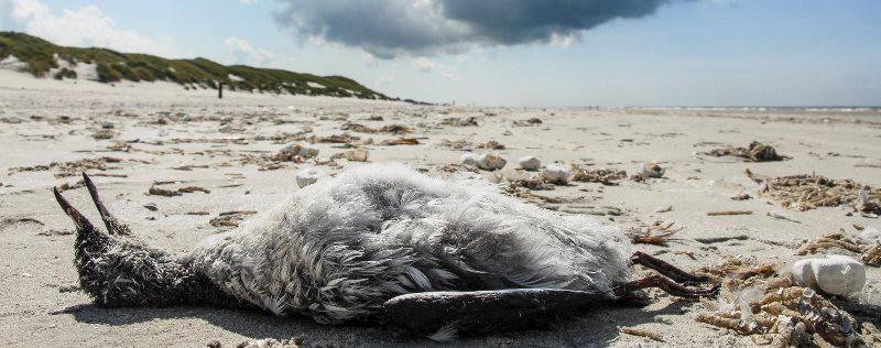 Загадка 20 тысяч истощенных и погибших птиц, найденных в Нидерландах