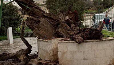 В Палестине сбылось еще одно пророчество о Конце света: рухнул Дуб Авраама