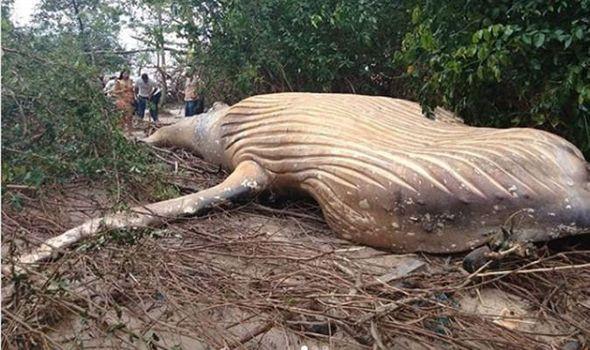 В Бразилии удивились, обнаружив в джунглях тушу кита