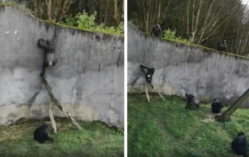 В зоопарке Белфаста шимпанзе додумались построить лестницу и сбежали из вольера