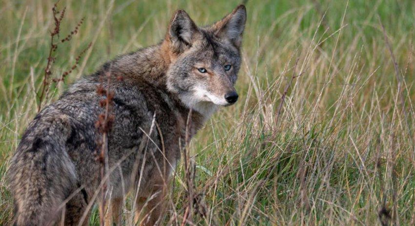 В Калифорнии среди койотов распространяется необычная мутация голубых глаз