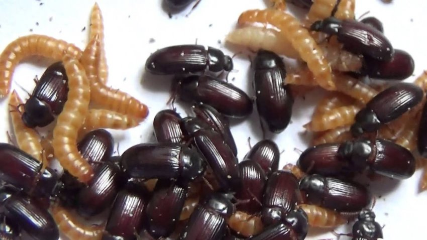 Женщина каждый день ест живых жуков и верит, что это спасает ее от рака