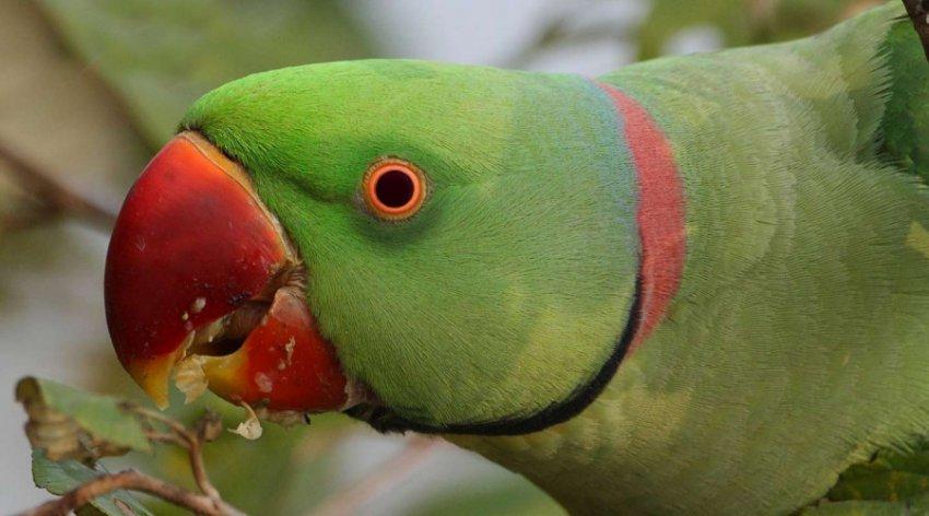 Зависимые от опия попугаи терроризируют маковые фермы в Индии