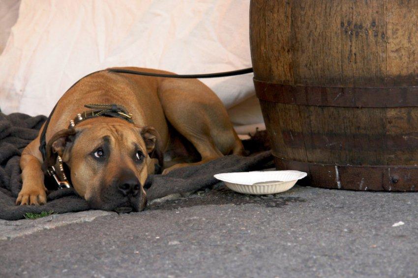 Заболевшую чумой собаку американские ветеринары настойчиво лечили от легочной инфекции