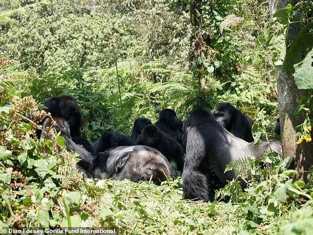 Ученые обнаружили у горилл ритуалы скорби по погибшим сородичам