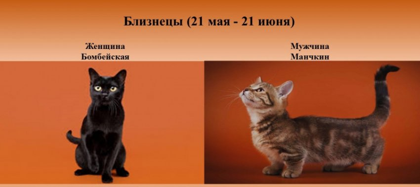 Какая порода кошек подходит тебе по знаку Зодиака