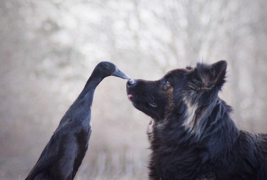 Француженка в серии фотографий запечатлела трогательную дружбу между собакой и уткой