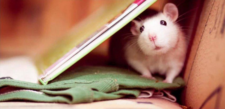 Характеристика и совместимость людей, родившихся в год Крысы