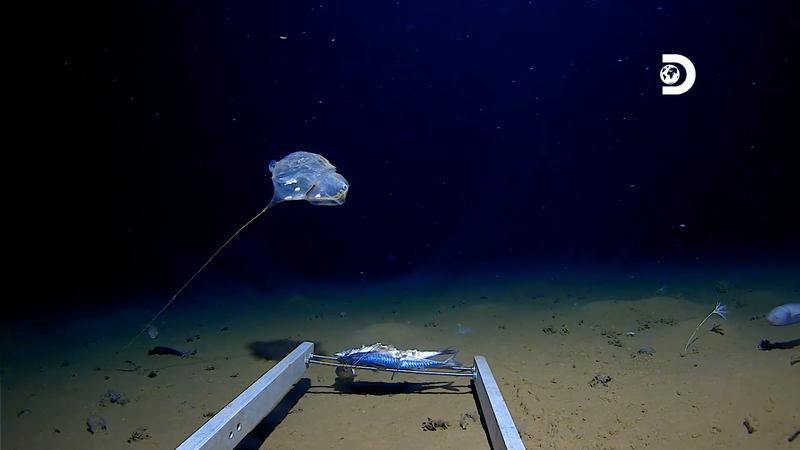 Существо похожее на воздушный шар: на дне Индийского океана обнаружили странное создание