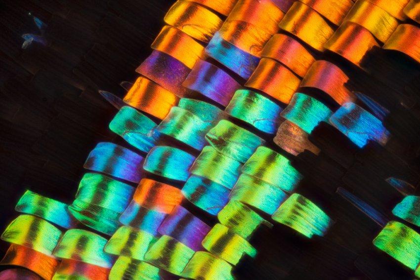 Крылья бабочек под микроскопом