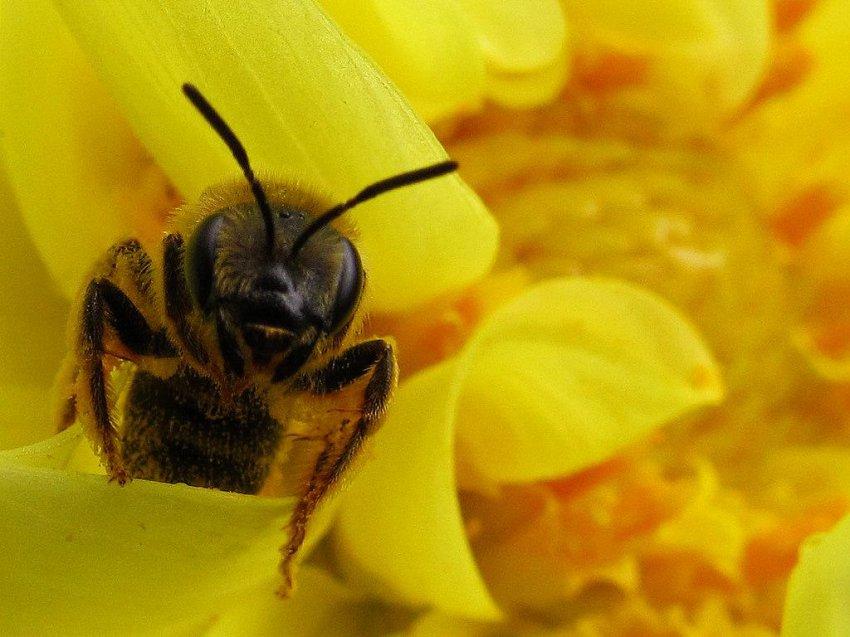 Похоже воплощается в реальность ужасное предсказание Ванги и Эйнштейна: пчелы действительно погибают