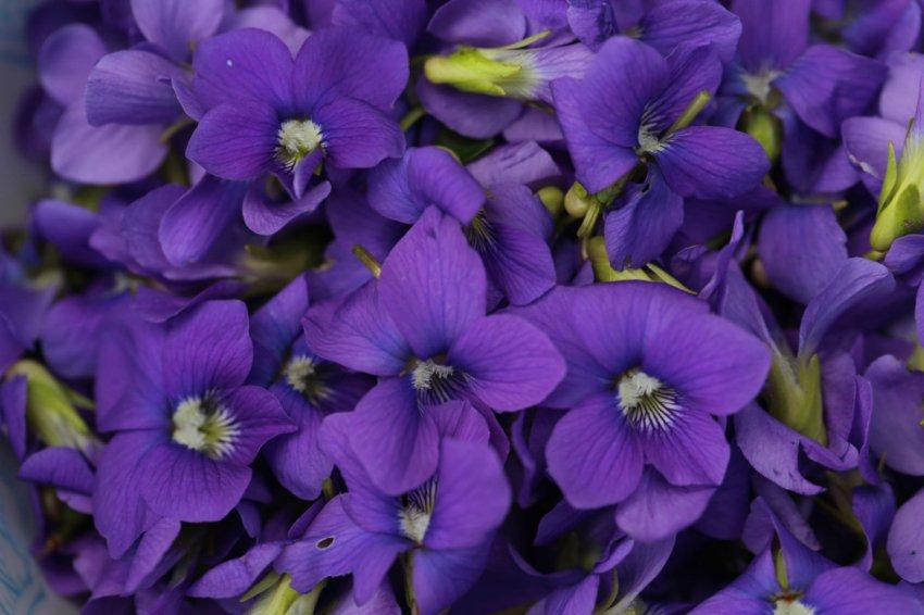 Домашние помощники: комнатные цветы, которые отводят беды и неприятности от людей