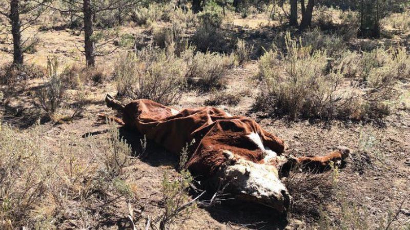Высасывает кровь и удаляет половые органы: в штате Орегон неизвестное существо убивает животных