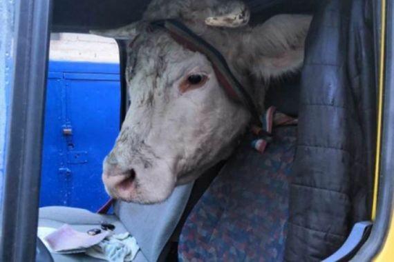 В Краснодарском крае 19-летний парень предстанет перед судом за кражу коров