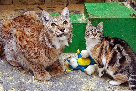 В Ленинградском зоопарке умерла кошка Дуся, 12 лет прожившая в одном вольере с рысью
