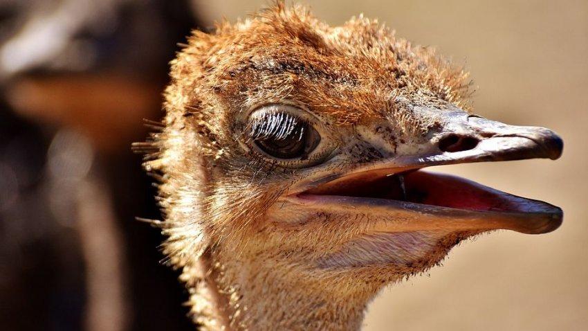 Огромные древние страусы Моа живут и сегодня