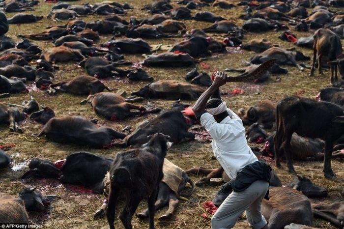 250.000 животных приносят в жертвы в Непале на праздник Гадхимаи