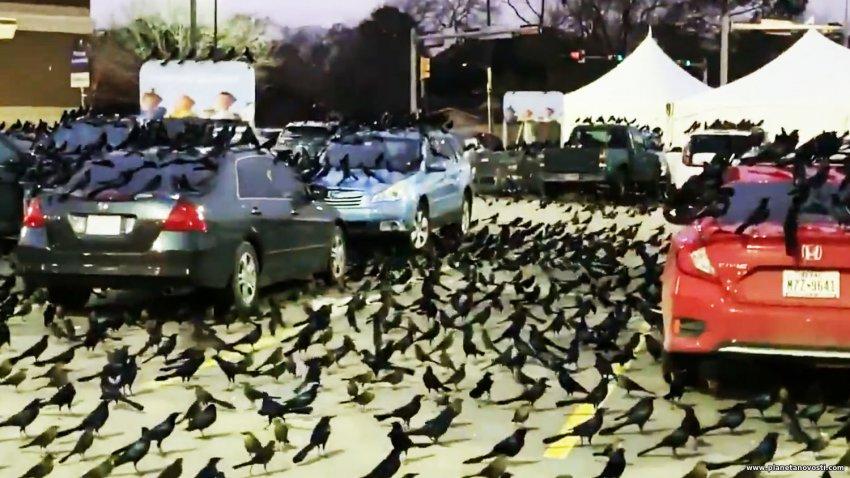 Миграция или знак приближающейся беды: нашествие черных птиц в Техасе обеспокоило людей