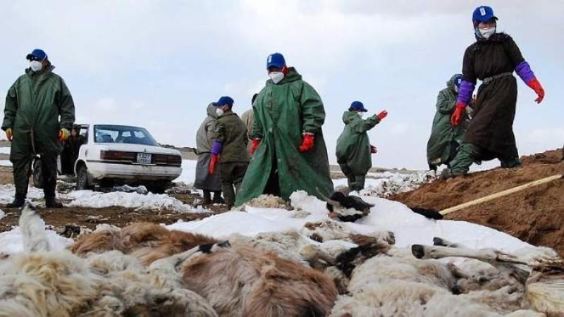 В Монголии из-за холодов погибло 56 тысяч голов скота: животные замерзают насмерть