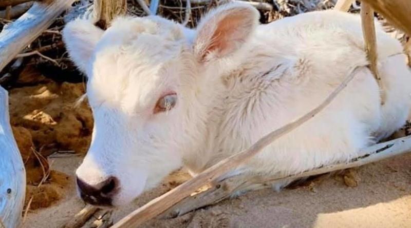 Корова, которая проплыла четыре мили в океане, родила необычного теленка