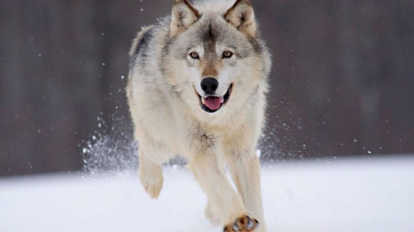 Сибирский волк - один из самых важных зверей фауны тайги