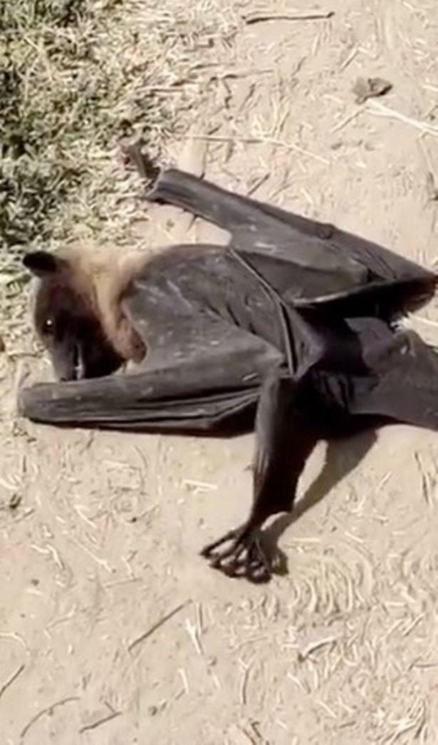 В Индии начали умирать летучие мыши: фото и видео происходящего