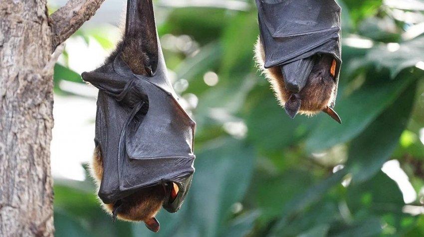 В Китае и Европе массово гибнут летучие мыши: это связано с коронавирусом