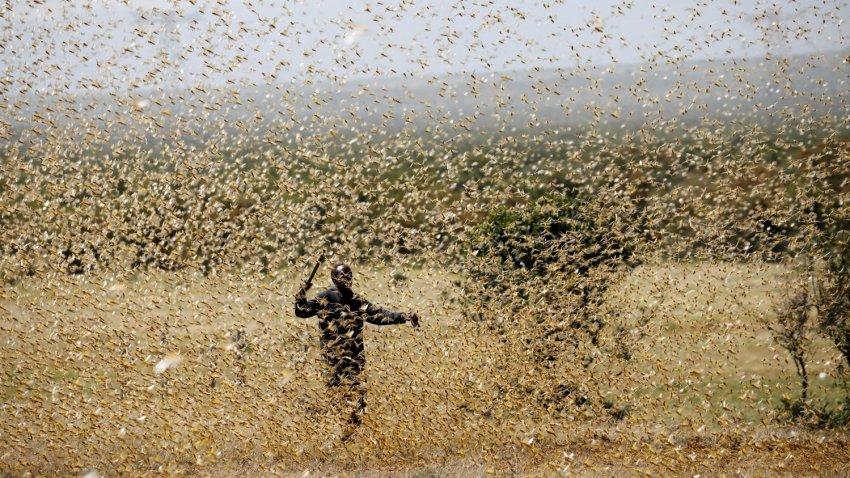 Саранча нападает на города в Индии: насекомые съедают буквально все