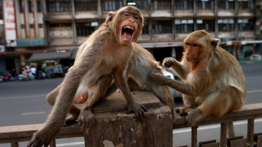 8 тысяч обезьян захватили город в Таиланде: животные держат людей в страхе