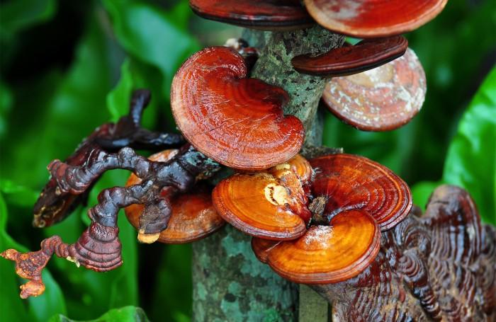 Чага: почему китайцы активно скупают Сибирский гриб