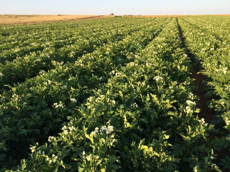 Штраф за выращивание несертифицированного картофеля хотят ввести в России в 2021 году