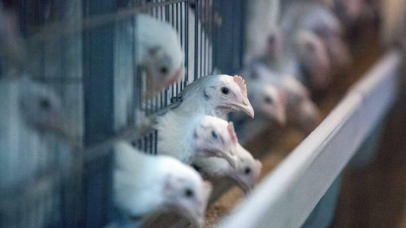 ВОЗ подтвердили, что россияне первыми в мире заразились птичьим гриппом H5N8