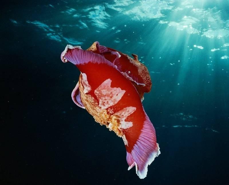 Гигантский «испанский танцор»: моллюск, который танцует и откладывает «цветы» из яиц