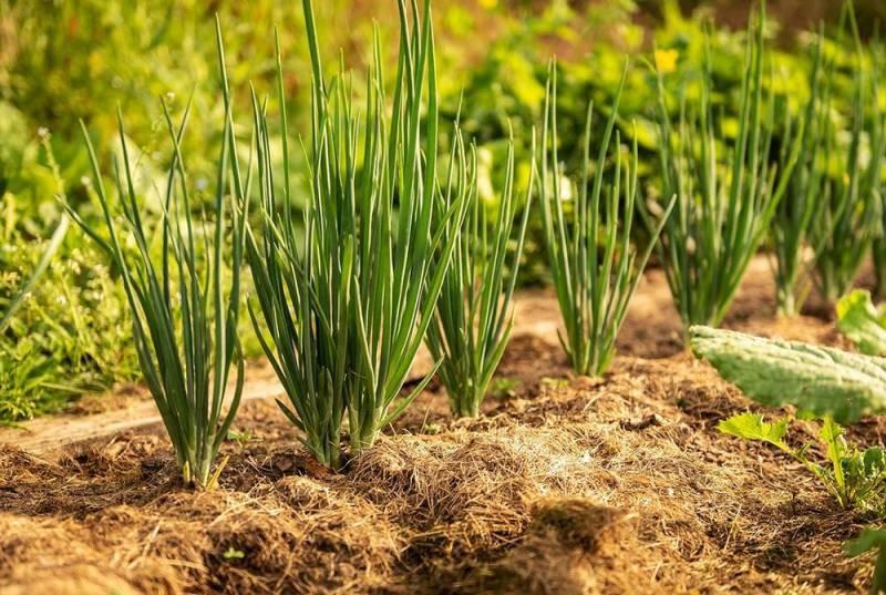 Когда следует сажать севок по лунному календарю в 2021 году, чтобы получить крупный лук