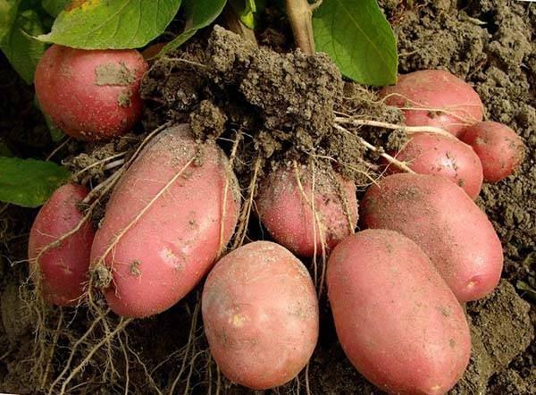 Как вырастить большой урожай картофеля на даче, используя голландский способ