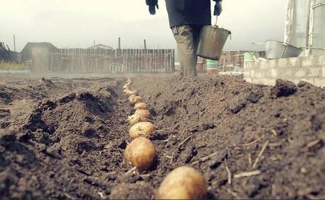 В какие дни апреля и мая 2021 года лучше сажать картошку согласно лунному календарю