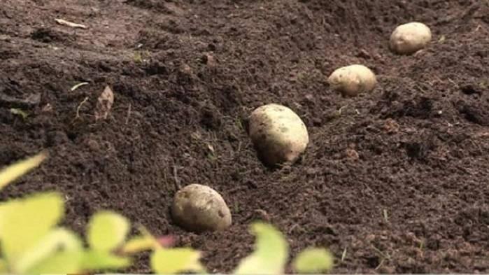 Когда сажать картофель в 2021 году по Лунному календарю
