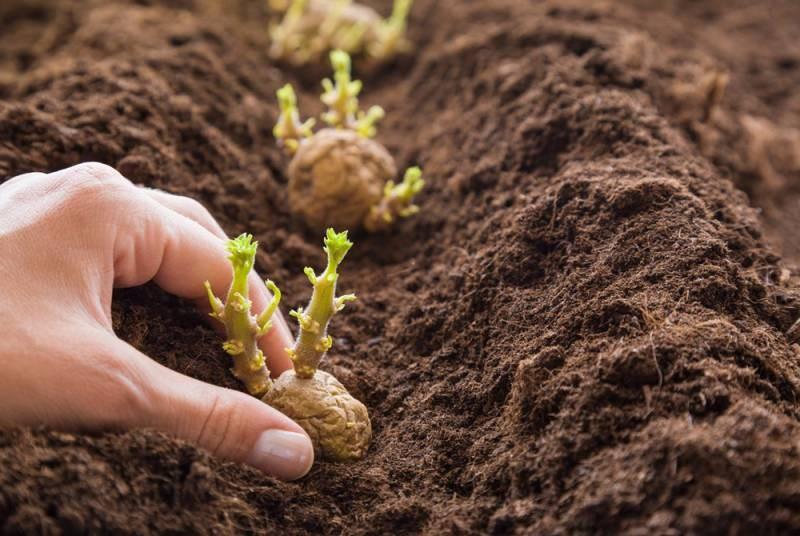 Когда следует сажать картошку по лунному календарю в мае 2021 года
