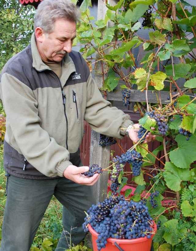 Почему в России запрещено выращивать виноград сорта «изабелла»