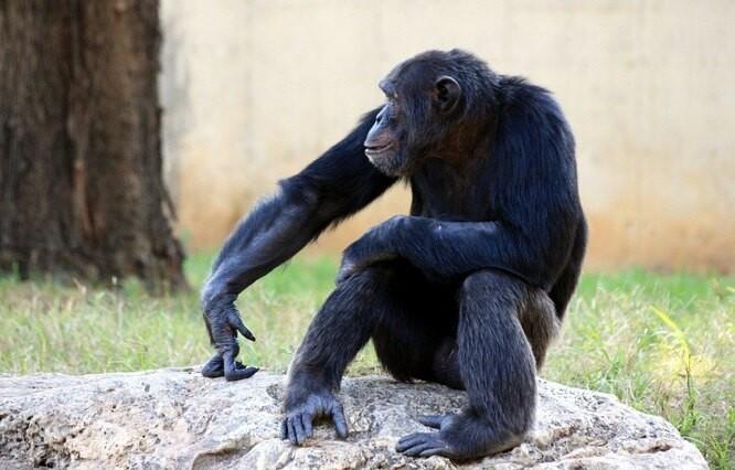 Можно ли из обезьяны сделать человека?