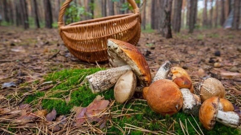 «20 килограммов за одну вылазку»: жители РФ устроили «тихую охоту» за грибами